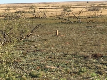 muleshoe-refuge-prairie-dog