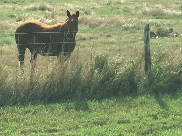 king-ranch-quarter-horse