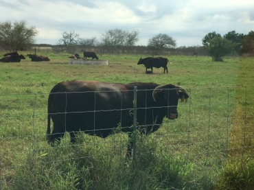 king-ranch-santa-gertrudis-cattle