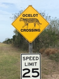 ocelot-crossing