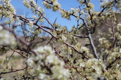 Chickasaw Plum Tree Blooming