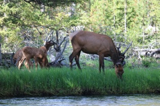 Elk with Fawns