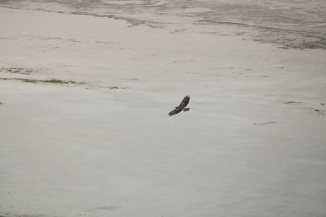 Hawk at Antelope Island