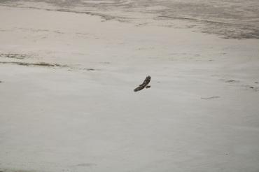 Hawk at Antelope Island